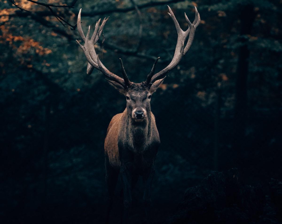 animale di potere alce, maschio con grandi palchi