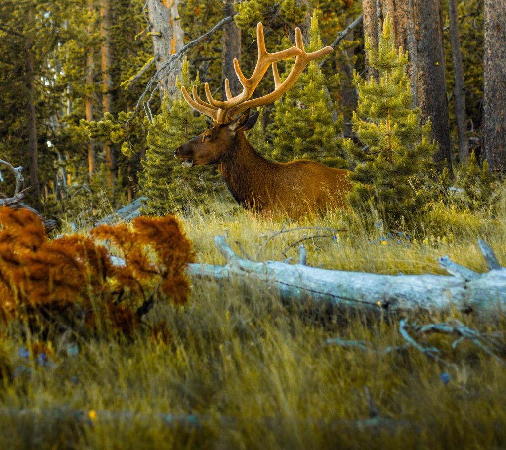 alce tra le foreste canadesi